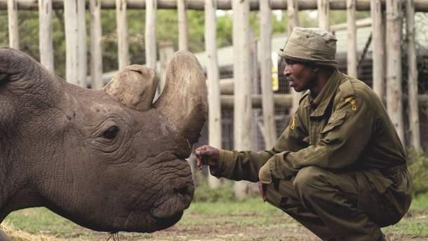 Помер останній у світі білий носоріг