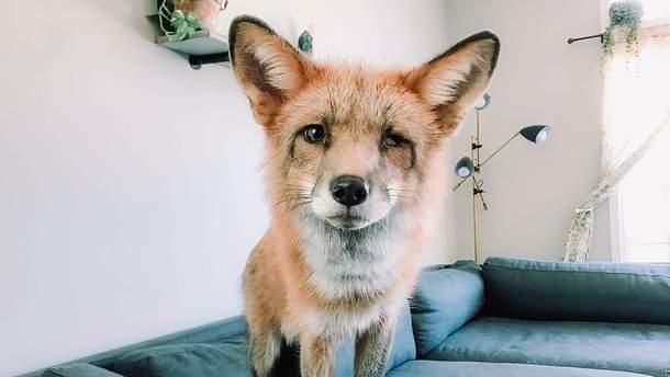Одомашнена лисиця