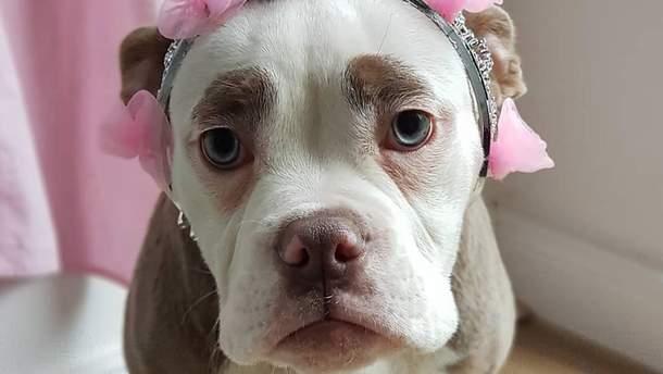 Мадам Брови – найсумніша собака в інтернеті