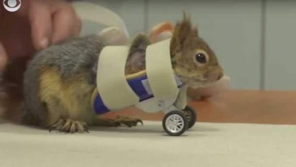 Белка получила необычные протезы в виде колес