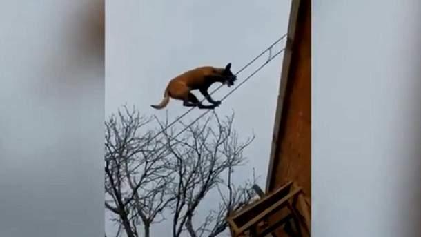 Собака-канатоходец развеселил сети