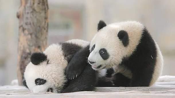 Маленькие панды получили имена