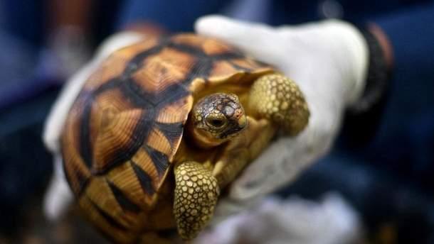 Черепаха промениста