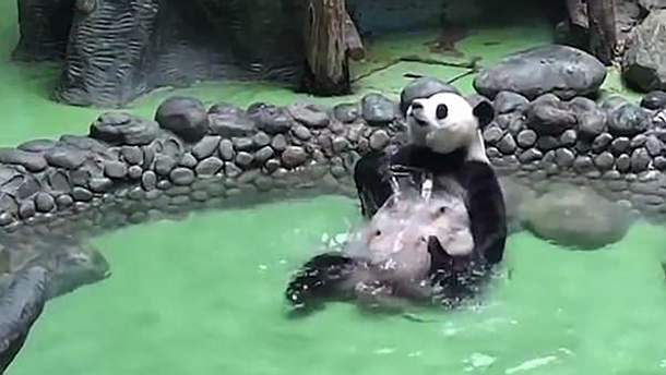 Панда в бассейне