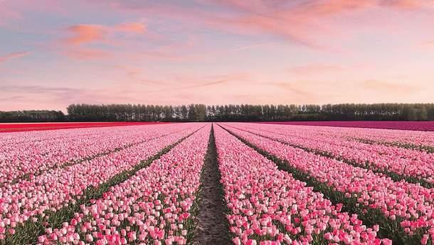 У Нідерландах зацвіли тюльпани