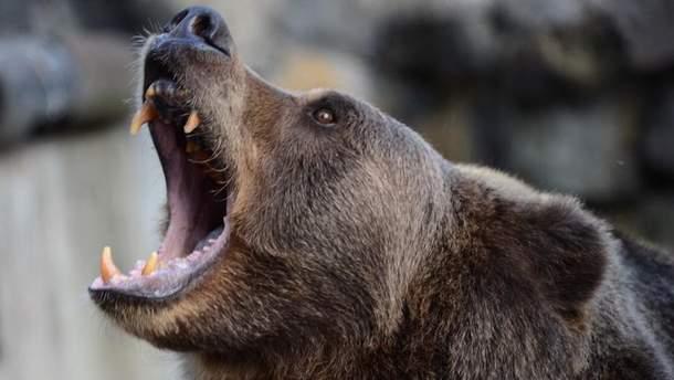 В Индии медведь разодрал таксиста