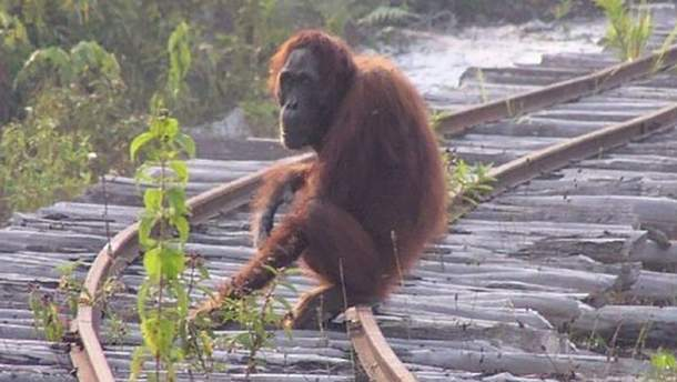 Тапанульський орангутан на межі зникнення