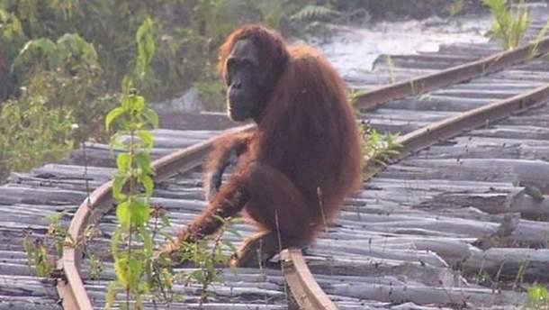 Тапанульский орангутан на грани исчезновения