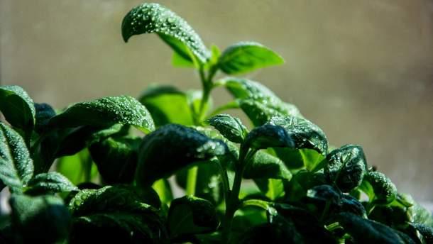 Вчені назвали зелень, яка здатна продовжити людині життя