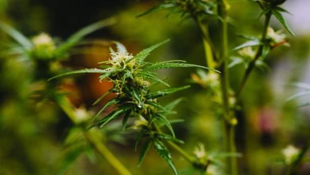Під будівлею уряду мітинг за легалізацію марихуани