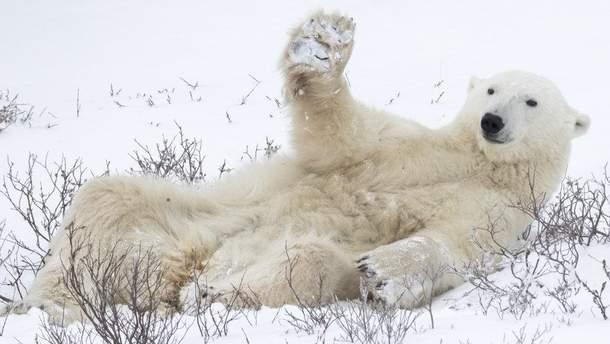 Полярный медведь машет лапой