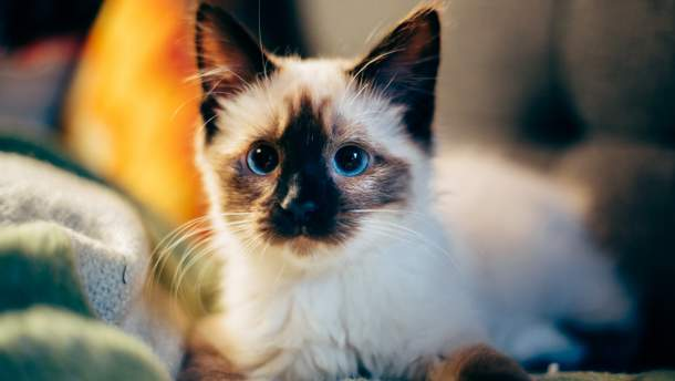 Как преодолеть аллергию на кошек