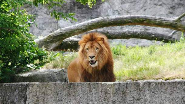 Лев в зоопарке травмировал подростка