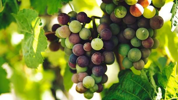 Виноград бореться з остеопорозом