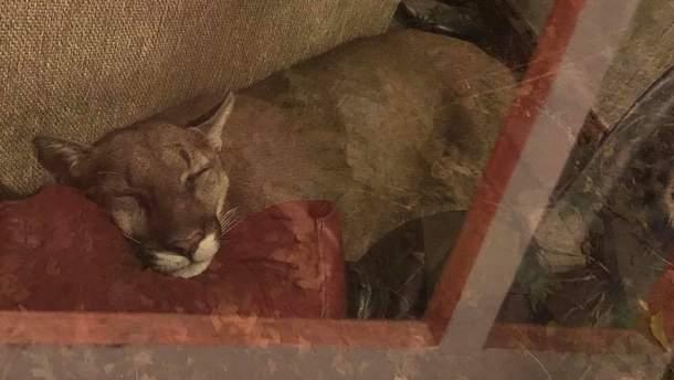Кішка заснула прямо у вітальні