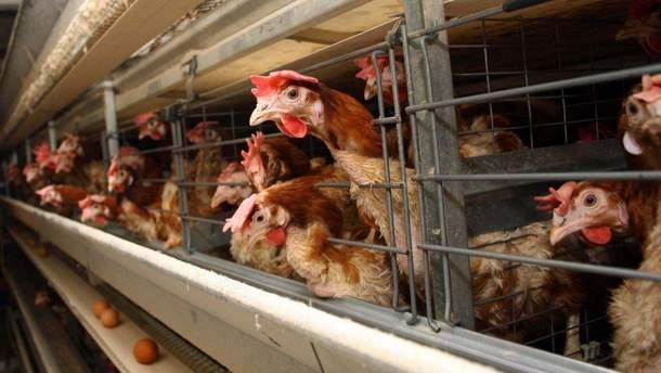 Інтенсивне тваринництво небезпечне для здоров'я