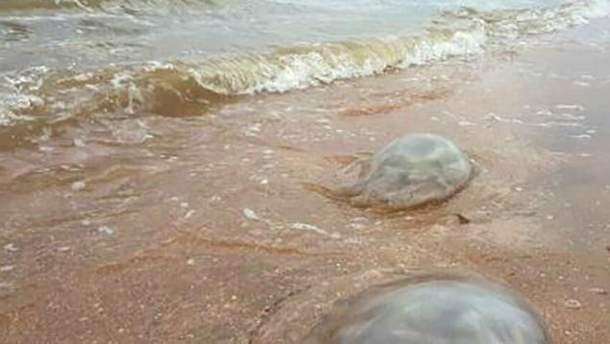Кримські пляжі заполонили гігантські медузи