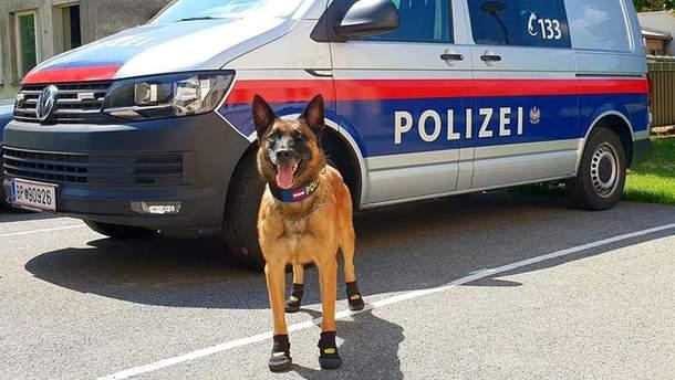 Управление полиции Вены приняло решение защитить служебных собак от жары