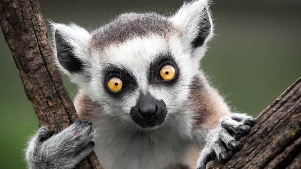 Вчені заявили, що Мадагаскарські лемури під загрозою вимирання
