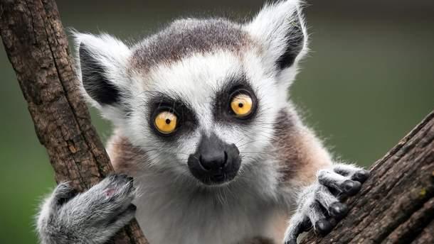 Ученые заявили, что мадагаскарские лемуры-под угрозой вымирания
