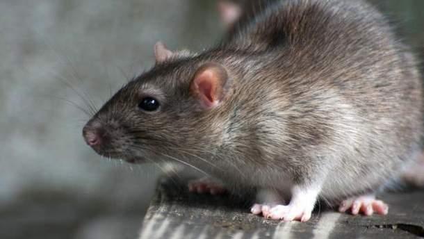 В Одессе посетительницу пиццерии укусила крыса