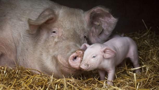 """Вирус африканской чумы """"истребляет"""" свиней"""