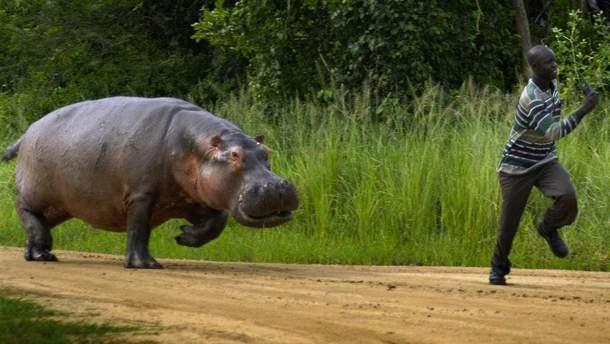 В Кении бегемот напал на туриста
