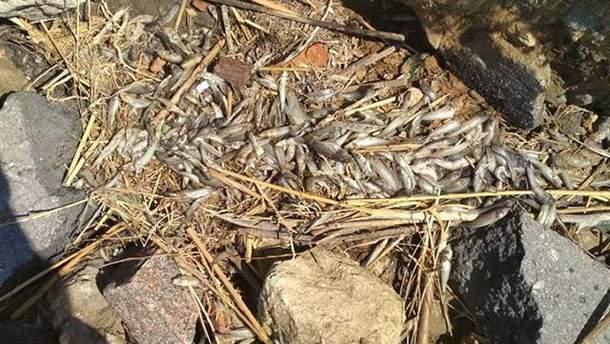 Массовая гибель рыбы в Николаеве