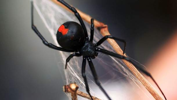 Що робити при укусі павука