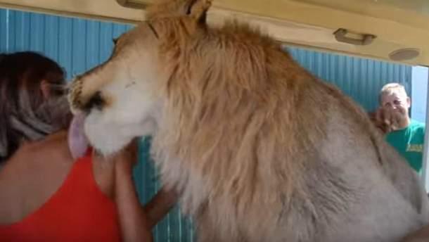 В оккупированном Крыму лев залез в машину к туристам