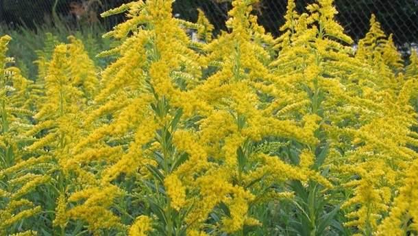 В Україні цвіте амброзія: алергікам слід підготуватись
