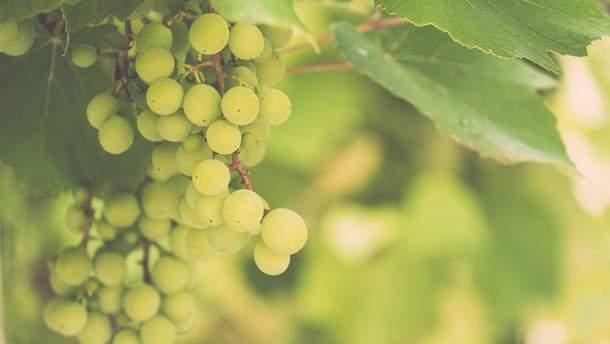 3 найбільш корисних сорти винограду