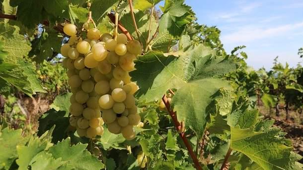 Росія знищує виноградники в окупованому Криму