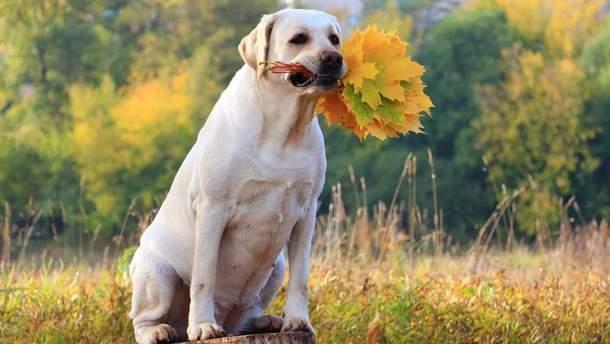 Лабрадор влюбил сеть своей реакцией на гору листьев