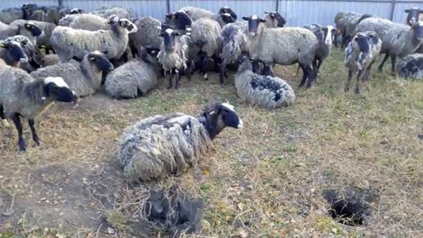 Выживших овец доставили в Тульчин