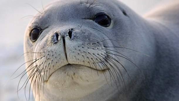 В Украине вы уже не найдете тюленей-монахов