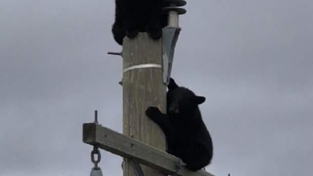 Ведмідь на електроопорі