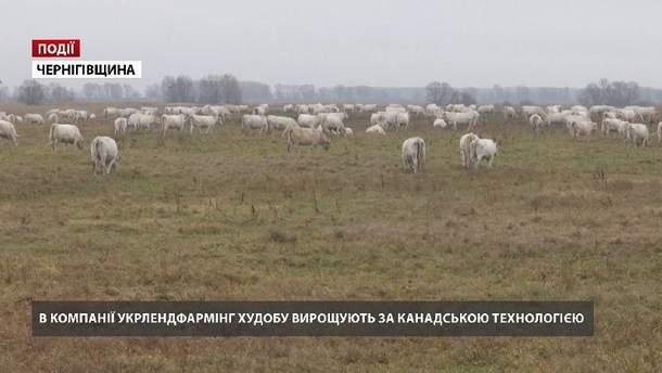 """В компанії """"Укрлендфармінг"""" худобу вирощують за канадською технологією"""