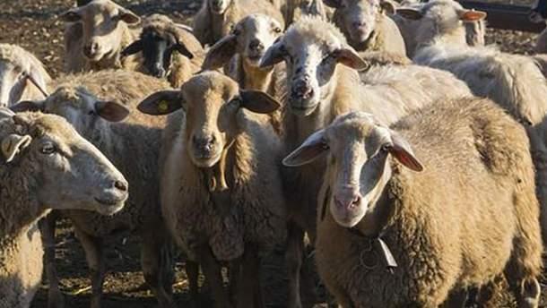 Інфекцій в овець не знайшли