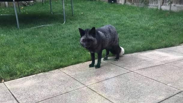 Дуже рідкісну сріблясту лисицю виявили у Великобританії