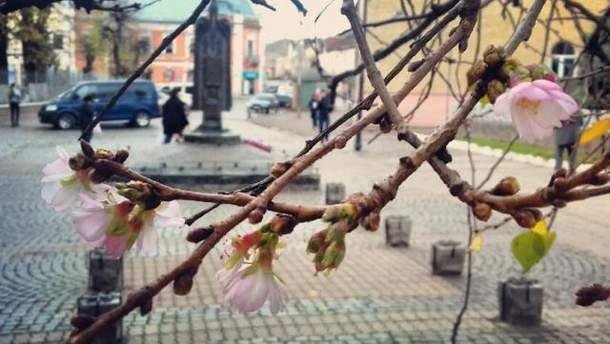 Напередодні зими на Закарпатті зацвіла сакура: неймовірні фото