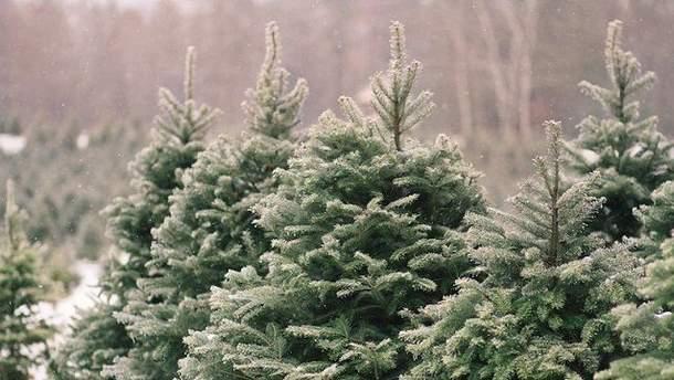 Гослесагентство назвало цену на новогоднюю елку 2019