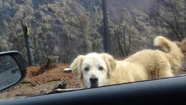 Собака майже місяць чекав на хазяїв біля згарища колишнього будинку