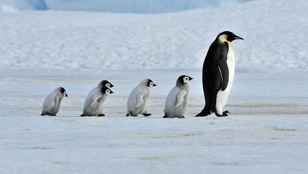 Пингвины занимаются сексом видео