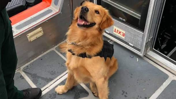 У США службовий пес отримав передозування наркотиками