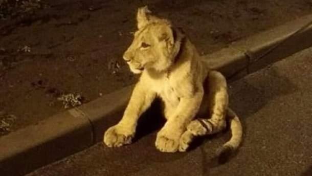 В Одессе на улице разгуливал львенок