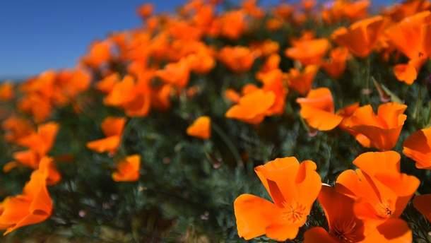 В Калифорнии расцвели тысячи ярких маков