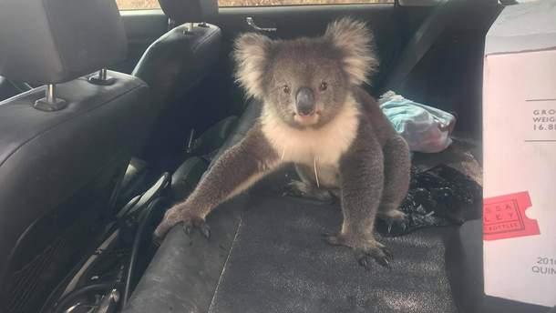 Коала залезла в авто австралийца и наслаждалась кондиционером