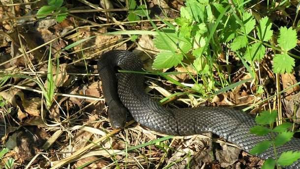 У Чернівцях 9-річного хлопчика вкусила змія