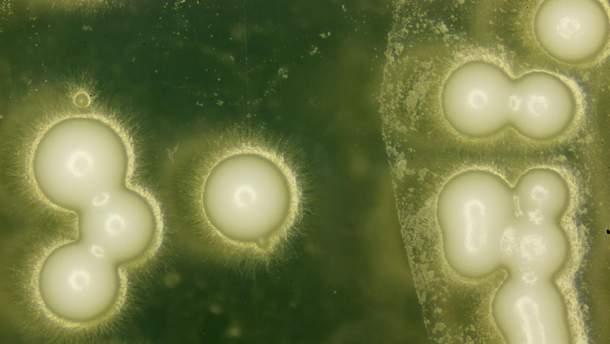 NASA відправить  клітини дріжджових грибків у космос
